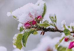 THEMENBILD - Neuschnee auf einer pinken Apfelblüte, aufgenommen am 05. Mai 2019, Kaprun, Österreich // Fresh snow on a pink apple blossom on 2019/05/05, Kaprun, Austria. EXPA Pictures © 2019, PhotoCredit: EXPA/ Stefanie Oberhauser