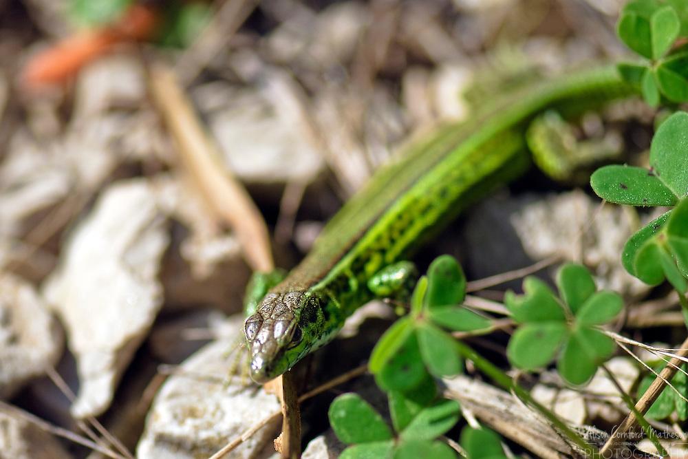 Green Lizard in Sardinia, Italy