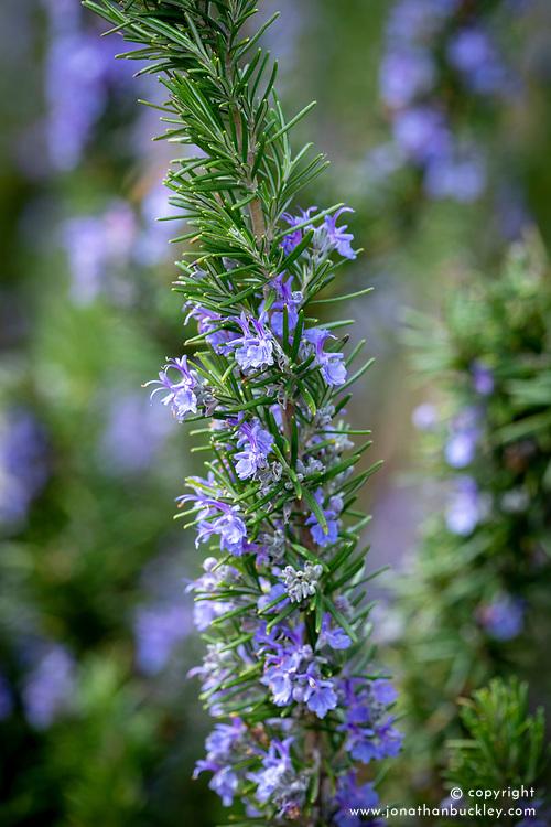 Rosmarinus officinalis var. angustissimus 'Benenden Blue' AGM. Rosemary