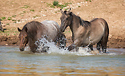 Two Wild Mustangs Splashing at Waterhole, Pryor Mountain, Montana