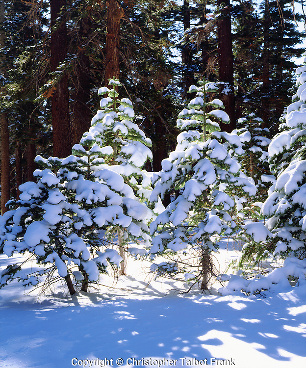 I waited for a winter storm to dump fresh snow for my photo of snow covered fir trees in the High Sierra.  The backlit young green and white trees stand out from the dark old growth forest.