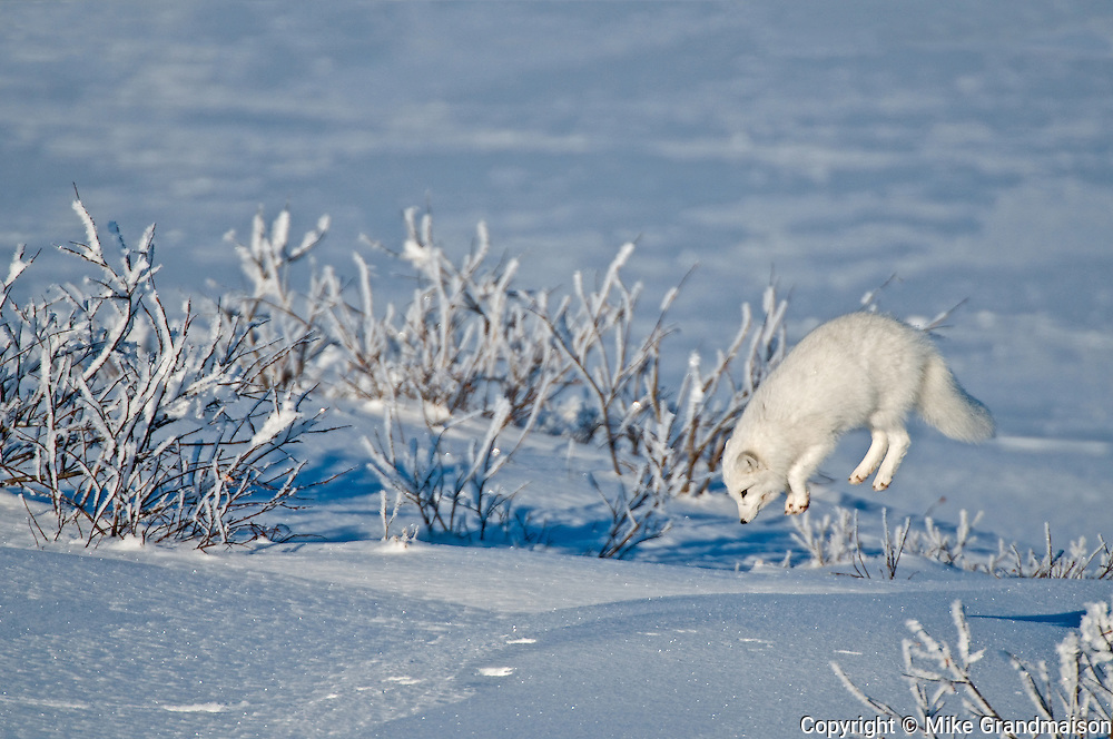 Arctic fox (Vulpes lagopus) leaping after prey. Churchill, Manitoba