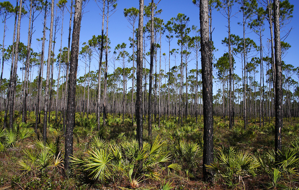Sand Pines, Tate's Hell Swamp, Florida (2)