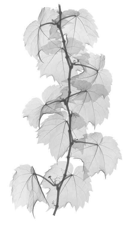 X-ray image of a Boston ivy strand section (Parthenocissus tricuspidata, black on white) by Jim Wehtje, specialist in x-ray art and design images.