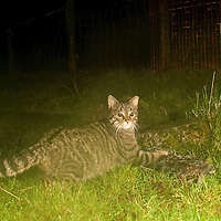 Scottish Wildcat hybrid.