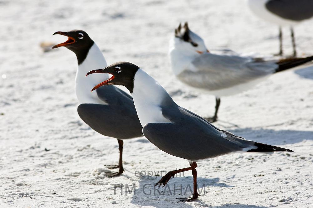 Laughing gulls, Larus atricilla, on the shoreline at Anna Maria Island, Florida