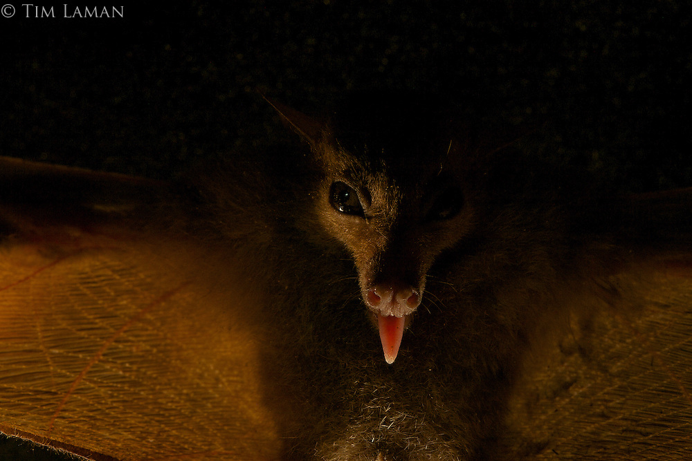 Blossom Bat (Syconycteris sp. nov.)<br />New species present in the Foja Mountains and also widespread in the mountains of New Guinea but never described before now.  Discovered by Kris Helgen.