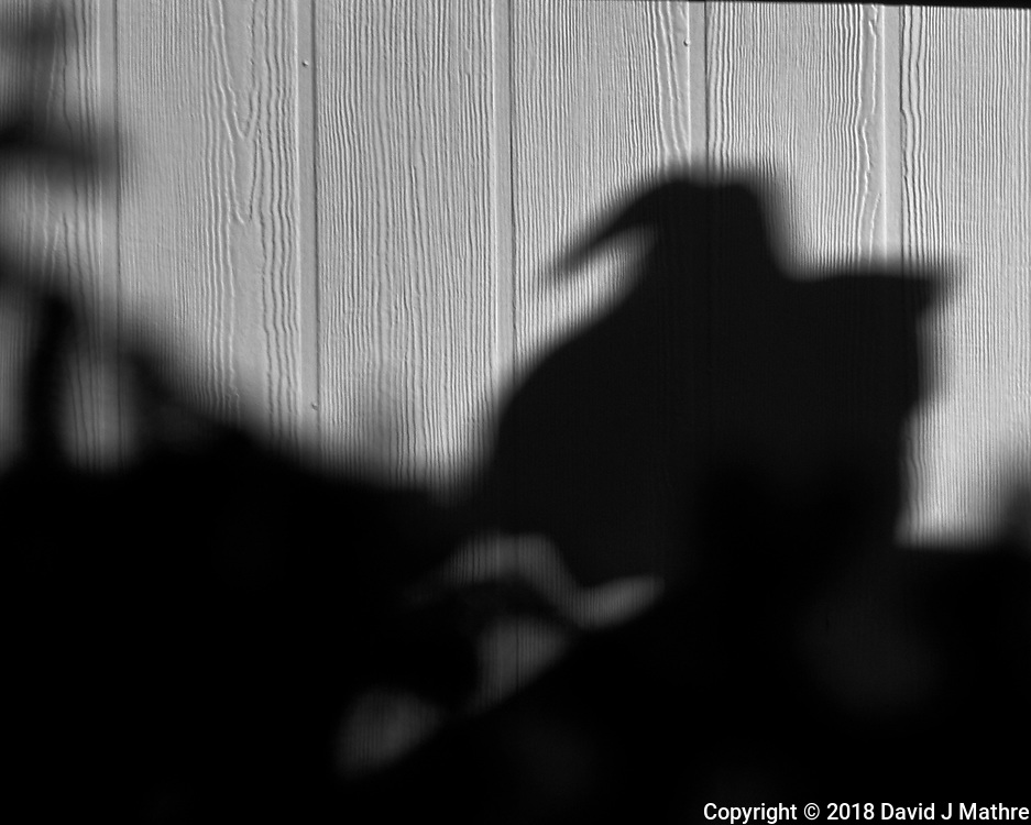 Turkey Vulture Shadow. Winter Backyard Nature in New Jersey. Image taken with a Fuji X-T2 camera and 100-400 mm OIS lens (ISO 200, 400 mm, f/5.6, 1/850 sec).