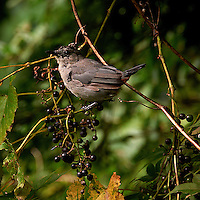Young Grey Catbird with Wild Grapes. Summer Nature in New Jersey. Image taken with a Nikon D700 and 28-300 mm VR ens (ISO 560, 300 mm, f/8, 1/125 sec). Raw image processed with Capture One Pro 6, Nik Define 2, and Photoshop CS5.
