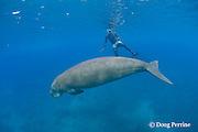 islander and dugong or sea cow, Dugong dugon, Vanuatu, South Pacific