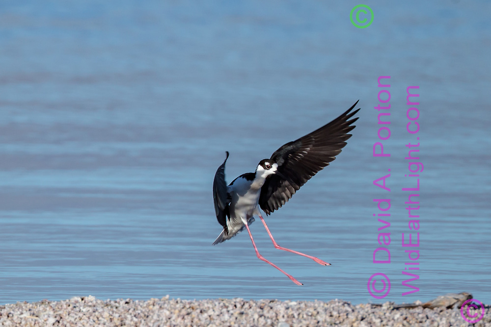 Black-necked stilt in flight, slowing for landing on gravel bar on the shore of the Salton Sea. © 2011 David A. Ponton