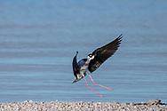 Black-necked stilt in flight, slowing for landing on gravel bar on the shore of the Salton Sea. © 2011 David A. Ponton