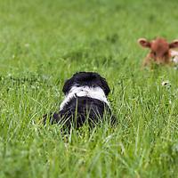 Black and white Border Collie herding Texas Longhorn cattle.