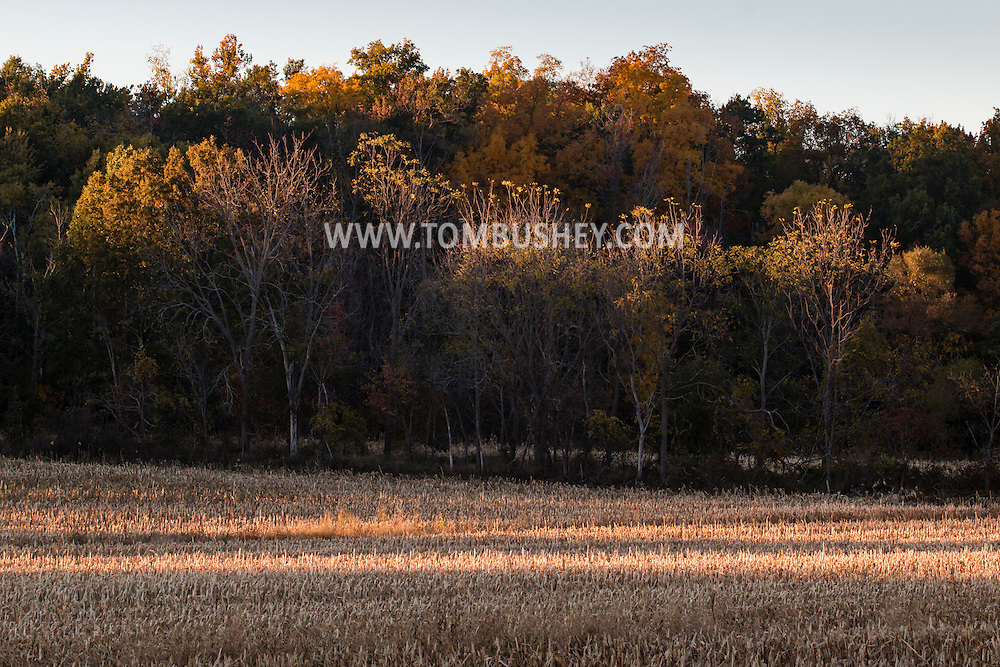 Wawayanda, New York  - A stalk of corn stands in a field on an autumn afternoon on Oct. 16, 2015.