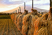Rice farm in northern Japan at the foot of Mt Iwaki which is a volcano. This is at sunset just before the harvest.Different areas have various ways of hanging the rice to dry. This is how they do it in Touhoku, Aomori area.