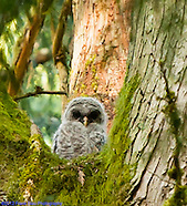 Baby Barred Owls - 2012