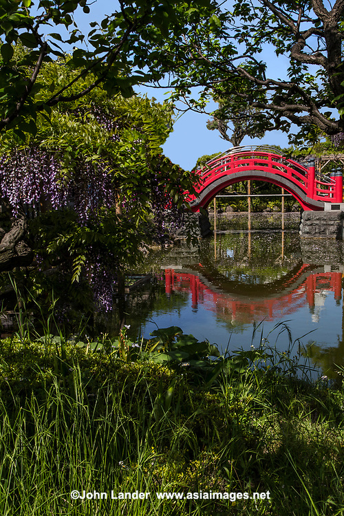 Kameido Tenjin Shrine is known as the best place in Tokyo to view wisterias. Beneath the wisteria trellises is a quiet pond, creating the unique scenery of purple flowers reflected on the surface of the water. These beautiful wisteria flowers were planted during the Edo period. These legendary wisterias are also the subject of many ukiyoe color prints asnwell as the subject of other works of art.  Wisteria flowers begin blooming  in late April. These lovely lavender-colored flowers are comprised of several bunches, and are especially beautiful when dangled from wisteria trellises.