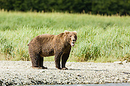 Brown bear (Ursus arctos) yawning along Geographic Creek at Geographic Harbor in Katmai National Park in Southwestern Alaska. Summer. Afternoon.