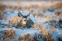 a large mule deer buck beds down in the snow at sunset in Jackson Hole, Wyoming
