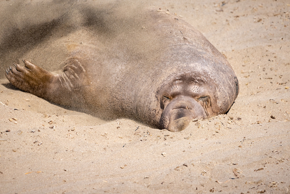 An elephant seal throws sand over its back on the beach.