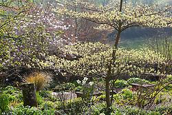 Backlit spring foliage at Glebe Cottage. Emerging leaves of Cornus controversa 'Variegata' with Magnolia x loebneri 'Leonard Messel' in the background