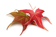 Fall maple leaves on white background