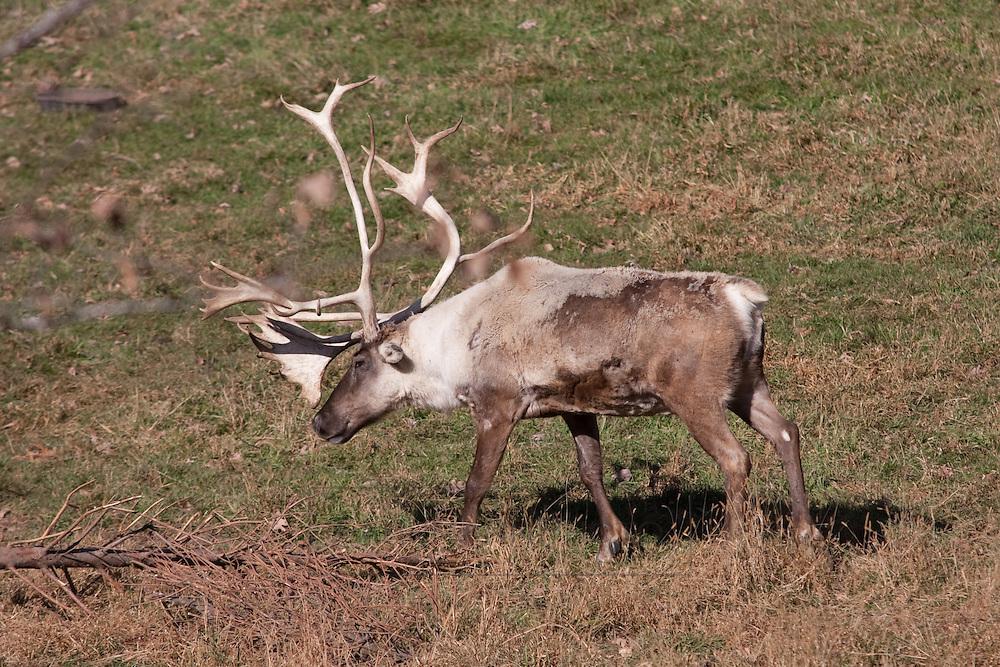 Caribou in a grassy backdrop
