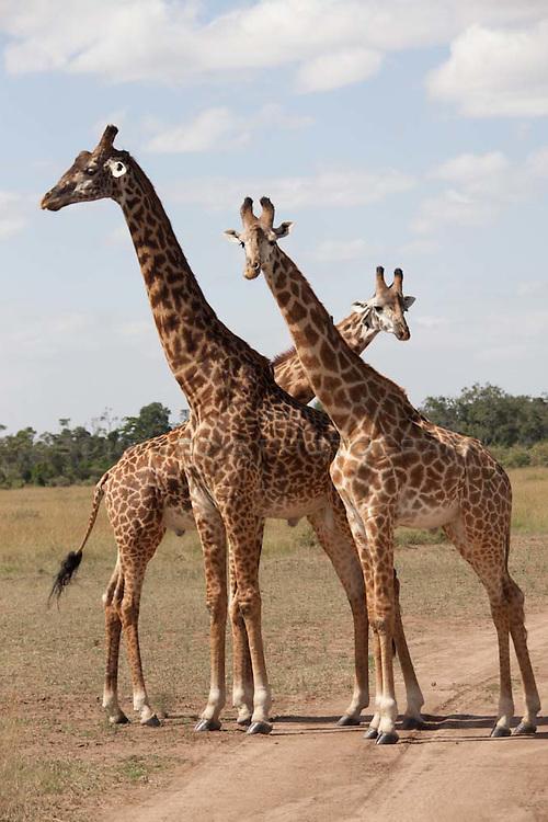 3 giraffe alone against the wilderness of the Serengeti