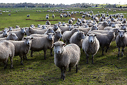 A flock of sheep near Blackwood Creek.