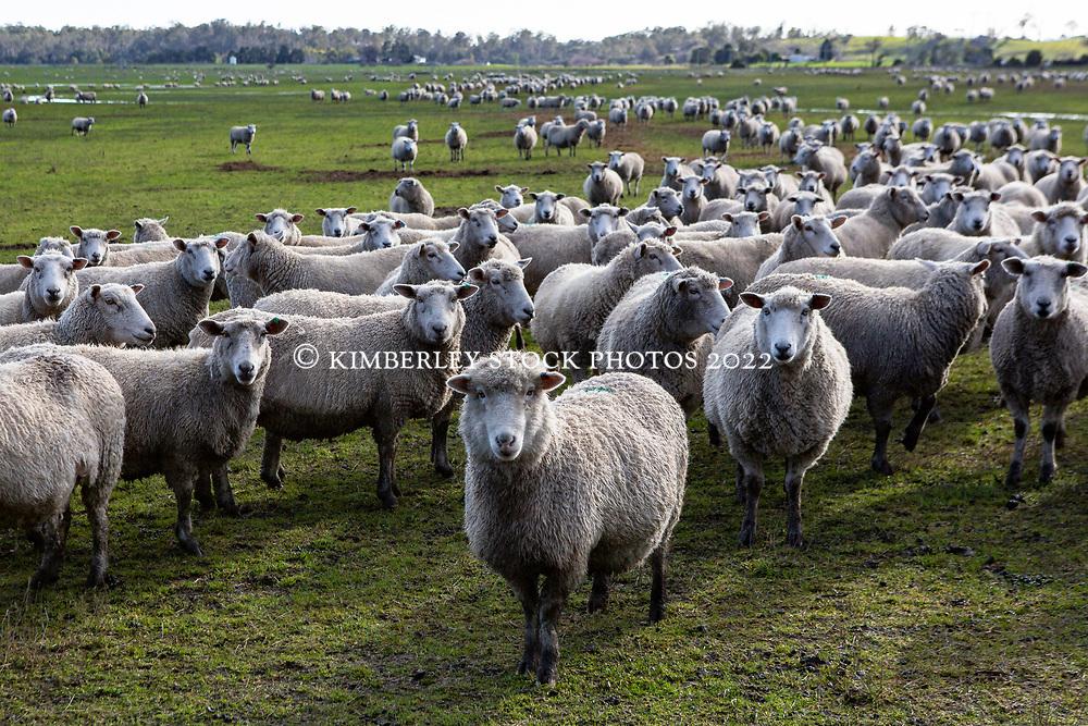 A flock of sheep near Blackwood Creek.