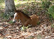 A wild, buckskin, Cumberland Island colt resting in the leaves.