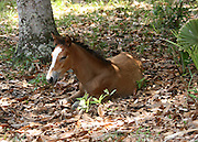 A wild, buckskin, Cumberland Island colt resting in the leaves.