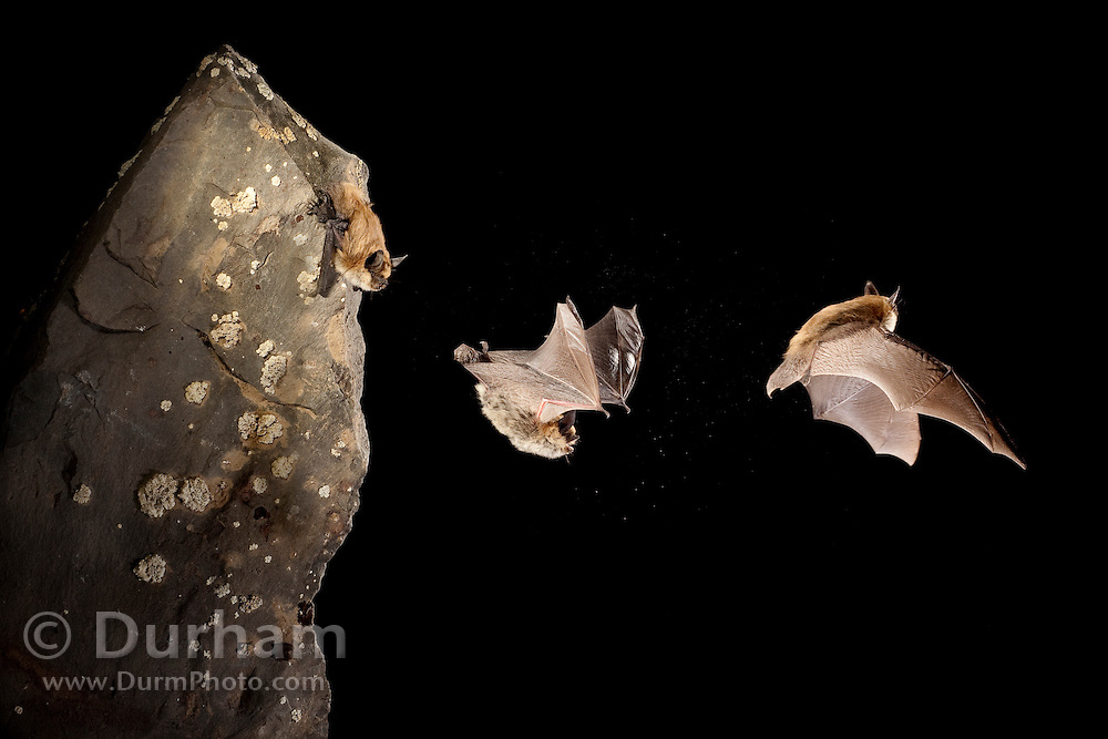 A Western small-footed bat (Myotis ciliolabrum) launching into flight from a basalt rock. Dutch Henry Falls, central Washington.