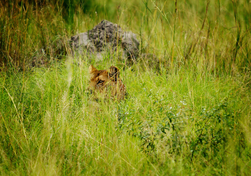 A lioness stalkes the tall grass for a meal.