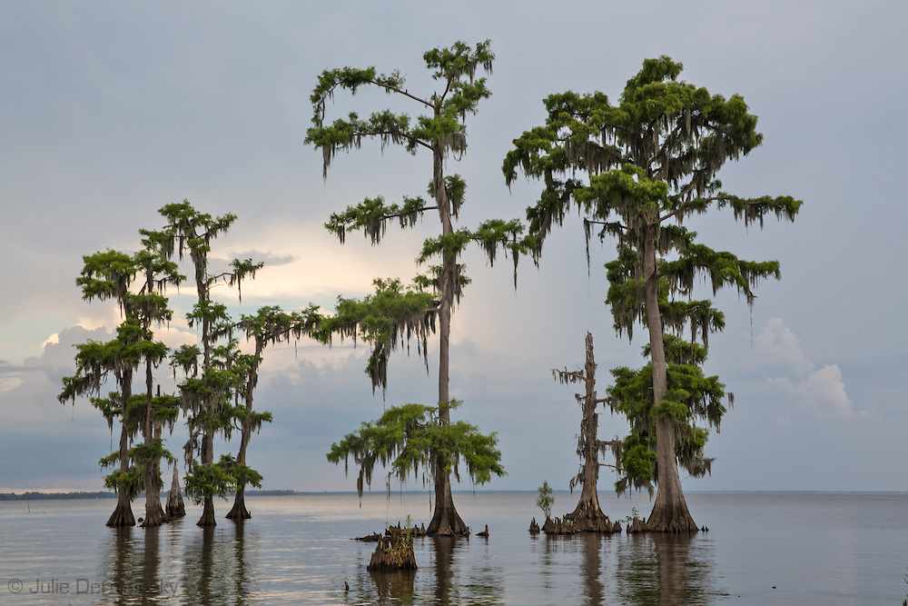 Cypress trees in Lake Maurepas, a brackish tidal estuarine sytem is south Louisiana