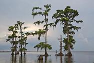 Cypress trees in Lake Maurepas, a brackish tidal estuarine sytem is south Louisiana