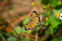 Female pearl crescent in CREW Marsh Hiking Trails east of Estero, Fl.