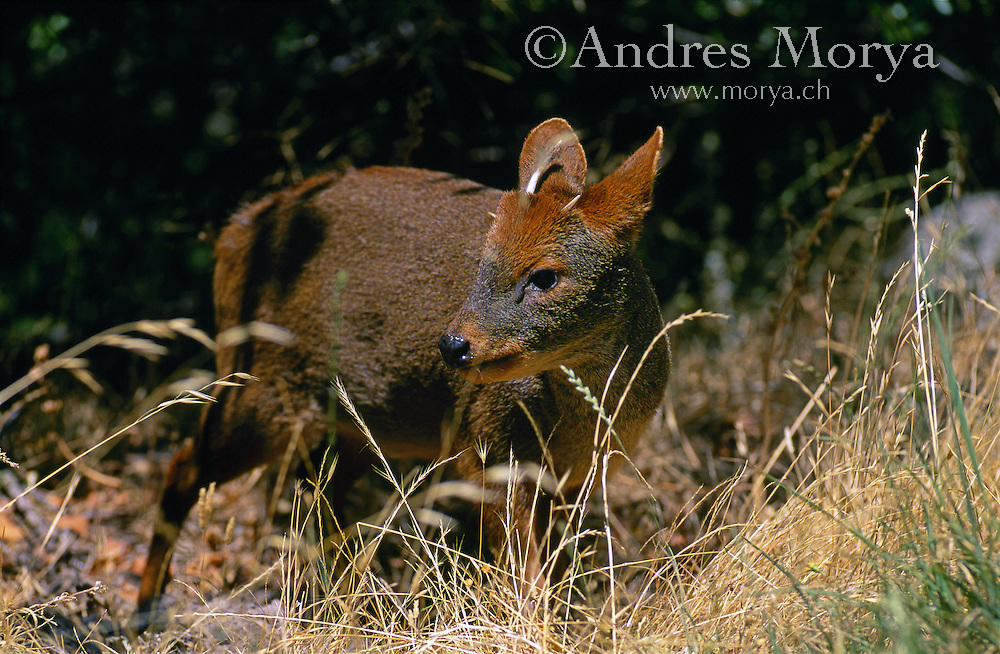 Chilean Pudú (Pudu puda), Southern Chile. The pudús are two species of South American deer from the genus Pudu; the world's smallest deer. The name is a loanword from Mapudungun the language of the indigenous Mapuche people of southern Chile. Image by Andres Morya