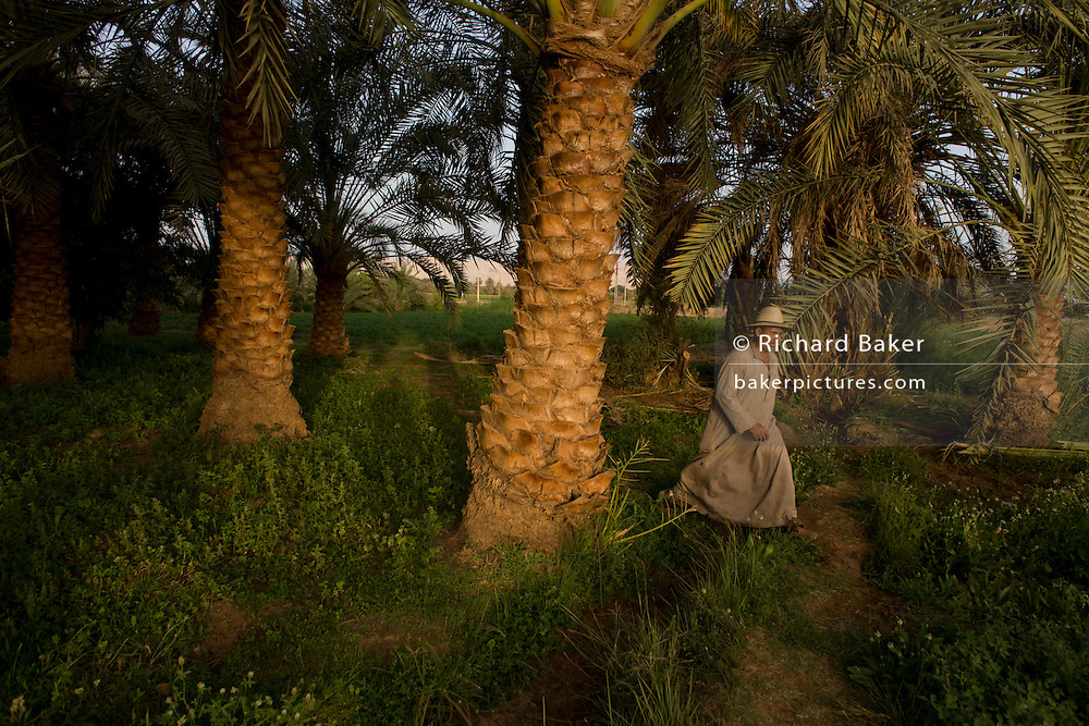 A farmer walks under date palms in fertile fields where agriculture is important for survival, at Bedhal near Dahkla Oasis, Western Desert, Egypt where the availability of water determines the agricultural economic life in an oasis village. Dakhla Oasis consists of several communities, along a string of sub-oases. The main settlements are Mut (more fully Mut el-Kharab and anciently called Mothis), El-Masara, Al-Qasr, Qalamoun, together with several smaller villages. Some of the communities have identities that are separate from each other. Qalamoun has inhabitants that trace their origins to the Ottomans.