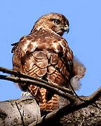 redtailedhawk,tree