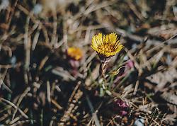 THEMENBILD - Huflattich auf einem Wald- und Wiesenboden. Der Huflattich gehört zu den ersten Frühlingsblumen und ist ein beliebtes Heilkraut, aufgenommen am 24. Februar 2020 in Kaprun, Oesterreich // Coltsfoot on a forest and meadow soil. Coltsfoot belongs to the first spring flowers. Coltsfoot is a popular medicinal herb, in Kaprun, Austria on 2020/02/24. EXPA Pictures © 2020, PhotoCredit: EXPA/Stefanie Oberhauser