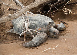Despite her exhaustion from being caught for many hourse in the dead branches, she makes her way back to the water having deposited many dozens of eggs.