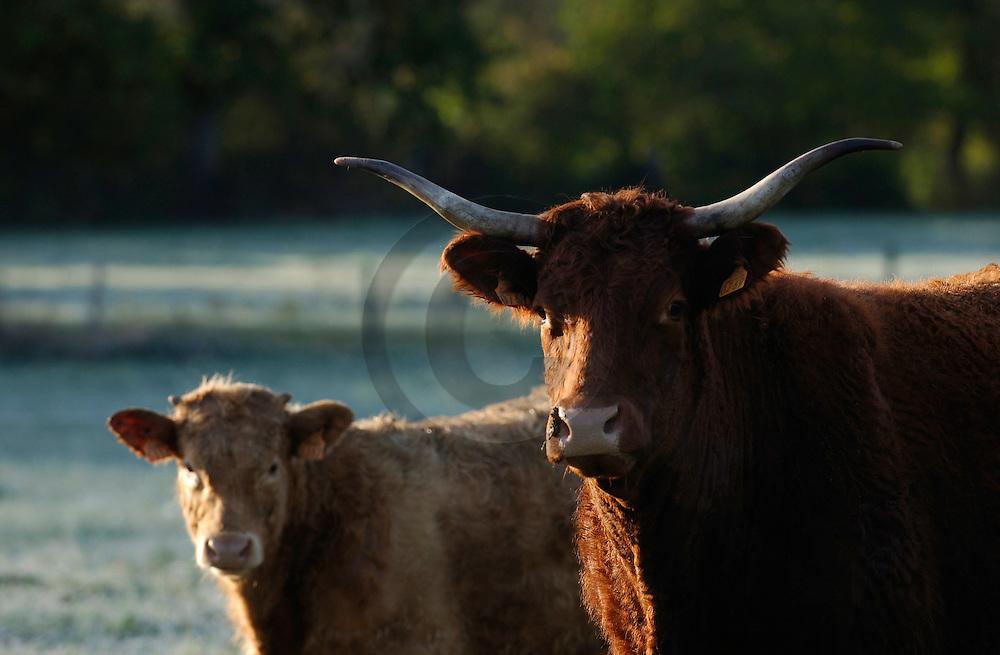 08/11/05 - BOUDES - PUY DE DOME - FRANCE - Croisement de vaches allaitantes - Photo Jerome CHABANNE