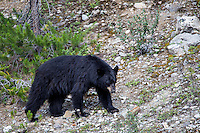 An American Black Bear (Ursus americanus) roams a rocky hillside in Banff National Park, Alberta