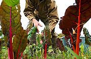 John Healey harvests Swiss chard at Green Edge Gardens, an organic farm in Amesville, Ohio, owned by Kip and Becky Rondy. Workers on the farm spend three to four hours per day hand picking many varieties of lettuce, greens, and herbs, averaging up to 200 lbs. total per week..