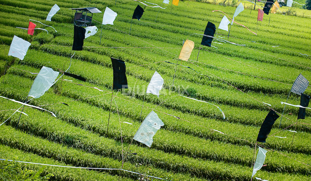 Near harvest time, Balinese farmers erect flags to scare away bird pests
