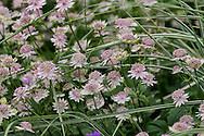 Astrantia 'Buckland' in a border in Derry Watkins' Special Plants Garden in Cold Ashton, Chippenham, Somerset, UK