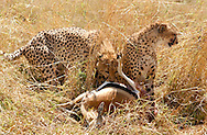 A pair of young cheetahs, share a meal in the plains of the Massai Mara National Park, Kenya. (PHOTO: MIGUEL JUAREZ LUGO)