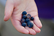 Closeup of a hand holding freshly picked blueberries in Arctic Valley near Anchorage. Summer in Southcentral Alaska.