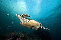Hawksbill Turtle Soars above the Reef